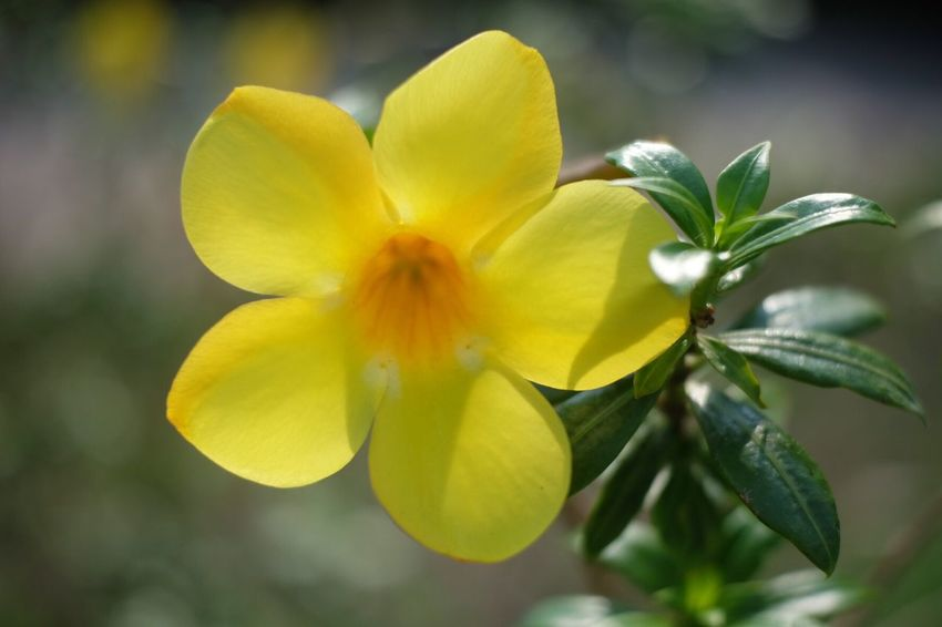 Yellow flower Yellow Nature Close-up Growth Flower Focus On Foreground Plant Petal Beauty In Nature Fragility No People Freshness Outdoors Day Flower Head Green Leaves