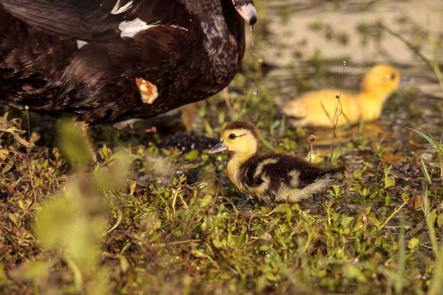 50+ Muscovy Duck Pictures HD | Download Authentic Images on