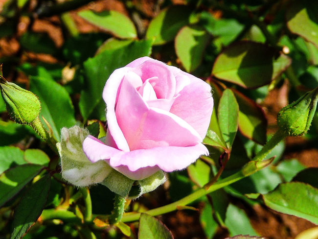 NEW BORN PINK ROSE Flower Petal Nature Plant Fragility Pink Color Outdoors Day Leaf Rose - Flower Beauty In Nature Blooming Freshness