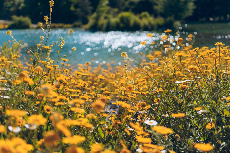 Plant Flower Flowering Plant Growth Beauty In Nature Yellow Fragility Selective Focus Freshness Vulnerability  Nature Land Field Day No People Water Tranquility Outdoors Close-up Flower Head Spring