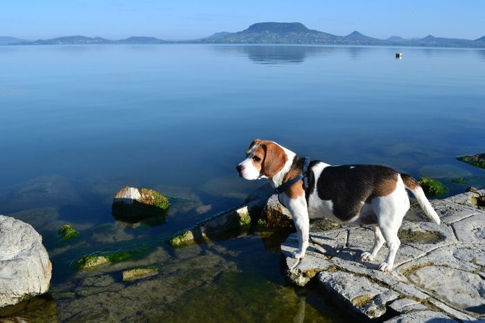 Morning scan Animal Themes Beagle Dog Domestic Animals Lake Balaton Nature One Animal Outdoors Pets Sky Water