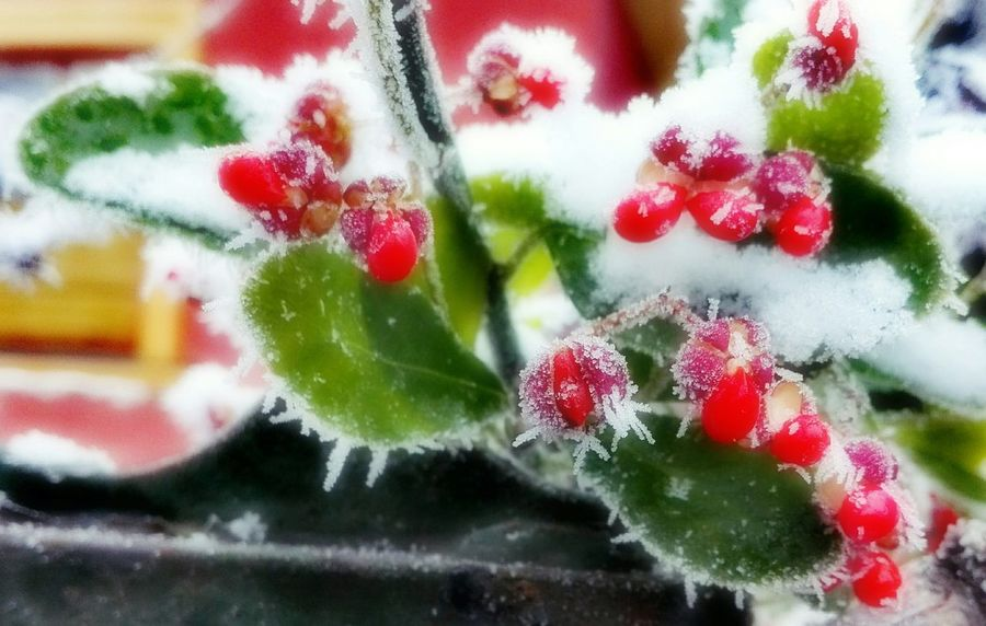 Close-up No People Freshness Outdoors Day Nature Winter Berry Leaf Ice Huawei Huaweiphotography Huaweip8 Lite