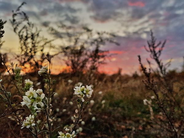 Beauty In Nature Fall Autumn Beauty Urban Nature Autumn Sunset Sky And Clouds Dramatic Sky Flower Flower Head Sunset Sky Close-up Plant Landscape Wildflower Uncultivated Botany Plant Life In Bloom Blossom