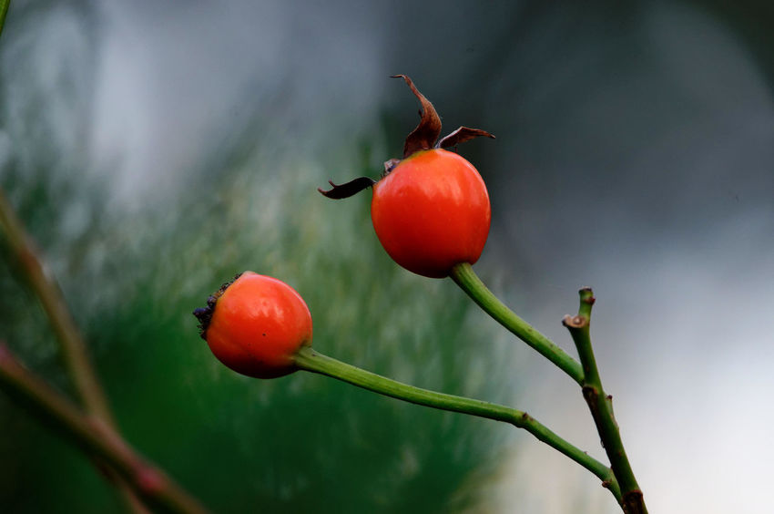 Rose Hip Rose Hips Close Up Red Beauty In Nature Close-up Day Food And Drink Fruit Growth Hagebutten Nature No People Outdoors Plant Red Rose Hips