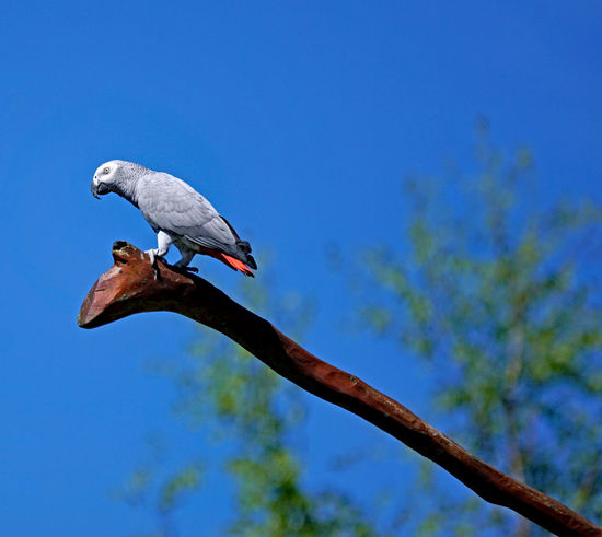 Vögel/Birds Animal Animal Themes Animal Wildlife Animals In The Wild Bird Blue Branch Clear Sky Day Focus On Foreground Low Angle View Nature No People One Animal Outdoors Perching Plant Sky Tree Vertebrate