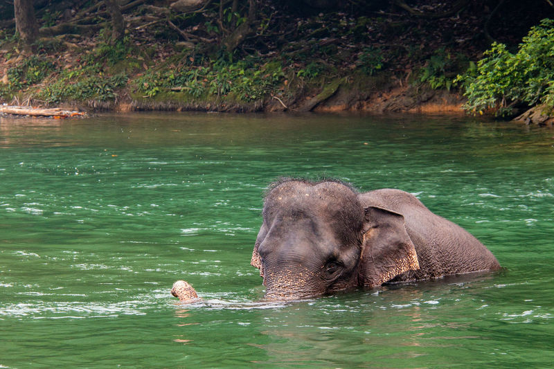 Close-up of elephant swimming in water
