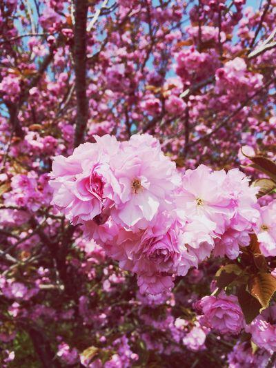 これは関山かなー?なんていう桜なんだろう〜(°_°)