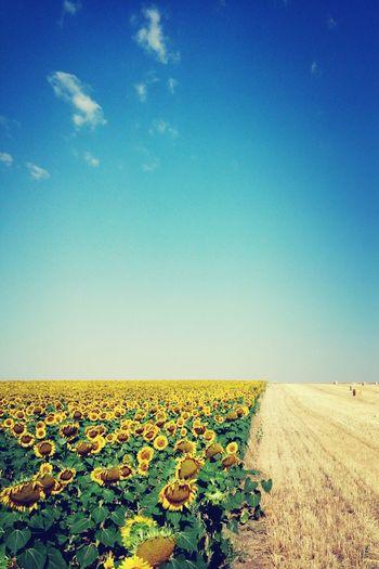 Segovia Girasol Sunflowers EyeEm Nature Lover