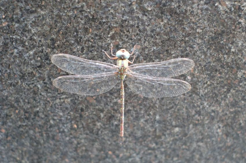 Dragonfly Insect Animal Themes One Animal Animals In The Wild High Angle View Nature Outdoors Day Close-up No People Animal Wildlife Beauty In Nature