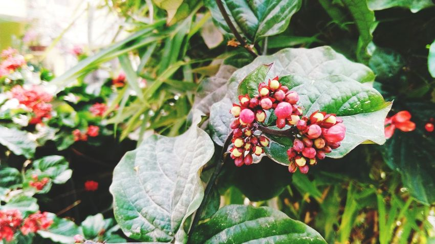 Close-up Flower Bud Red Green Leaves🌿 Mobile Photography SSClicks SSClickpix SSClickPics