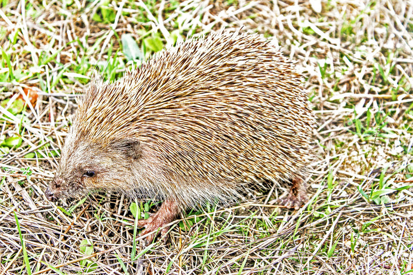 Edy the hedgehog Animal Animal Wildlife Animals In The Wild Nature Field Vertebrate Sunlight Spiked Hedgehog Little Hedgehog Edy Edy The Hedgehog Grass Sweet Animal Sweet Animals Goodness Kindness Prongs Porcupine Save The Nature Save The Animals Hedgehog Breeding