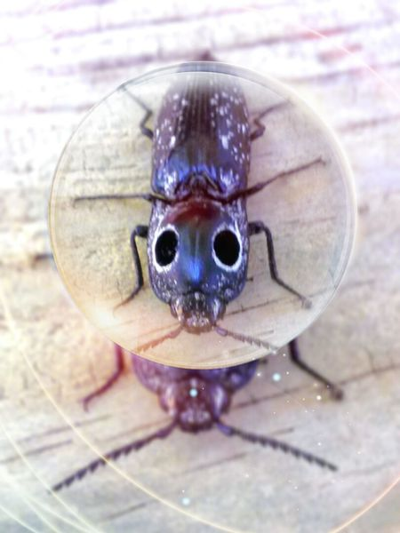 The OO Mission Eastern Eyed Click Beetle Florida Nature Showcase July Insects  First Eyeem Photo Get To Know Nature Falsies 43 Golden Moments Intelligent Design Still Life Bug Eyes Magnifying Glass Magnify A Bird's Eye View My Year My View Cut And Paste