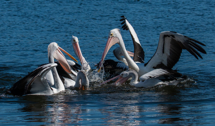 Pelicans party Water Animals In The Wild Waterfront Animal Wildlife Animal Themes Bird Animal Vertebrate Group Of Animals Sea Nature Spread Wings No People Pelican Flying Day Swimming Motion Flock Of Birds Jason Gines Australian Wildlife
