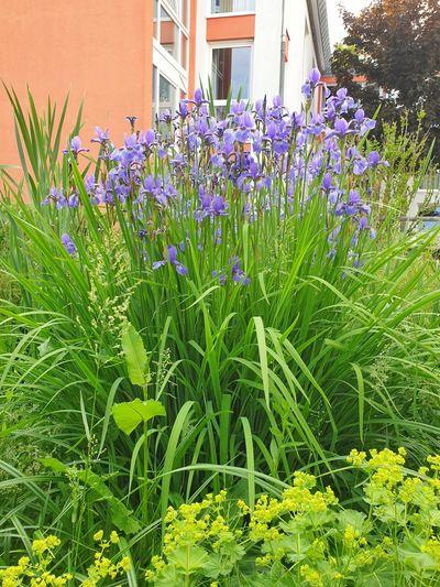 Close-up of purple flowering plants against building