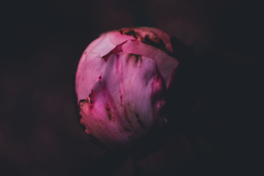Beauty In Nature Close-up Day Evening Everyday Joy Flower Flower Head Fragility Freshness Nature No People Outdoors Peony  Petal