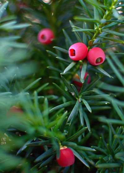 Taxus Taxus Baccata Holiday Plant Christmas Decoration Christmas Ornament Decoration Celebration Christmas Red Branch No People Plant Part Close-up Nature Holiday Plant Christmas Decoration Christmas Ornament Decoration Celebration Christmas Red Branch No People Plant Part Close-up Nature