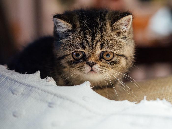 Close-up of tabby kitten