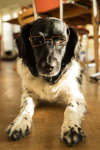Funny Friesian Stabyhoun with glasses FUNNY ANIMALS Funny Glasses Animal Themes Close-up Day Dog Domestic Animals Friese Stabij Indoors  Lying Down Mammal No People One Animal Pets Portrait Sitting Stabyhoun Table
