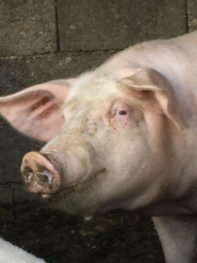Pig Schwein Smile Look