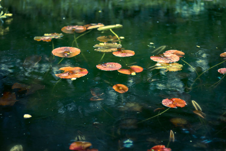 Lily pads growing in lake