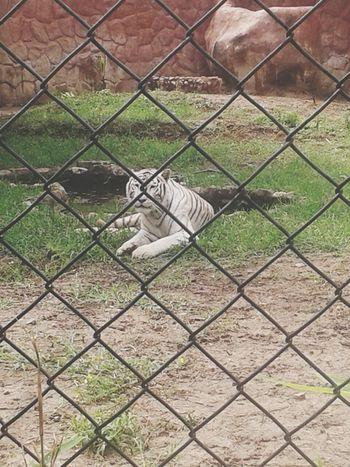 Gorgeous white tiger Taking Photos Tigers Tiger Love Zoo
