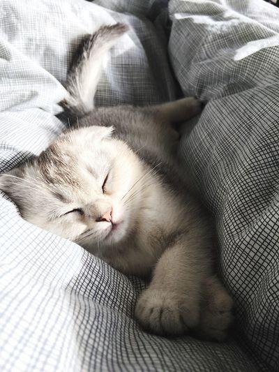 Relaxing Kitten Scottishfold Cat Catoftheday Market Bestsellers September 2016 Bestsellers