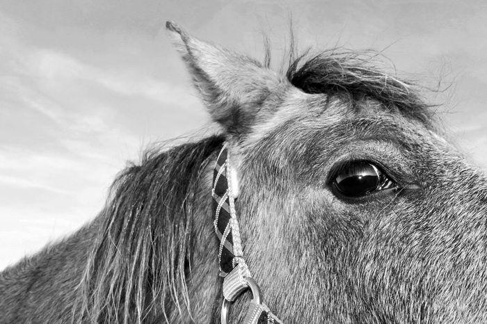 Horse eye. Tadaa Community EyeEm Nature Lover Horse Horses Eyes Eye Black & White Blackandwhite Black And White Mane Animal Nose Animal Ear Animal Hair Animal Face