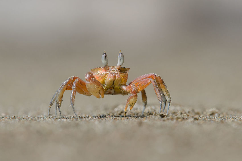 Red crab on the beach Animal Themes Animal Wildlife Animals In The Wild Claw Close-up Crab Day Nature No People One Animal Outdoors Red Crab Sand