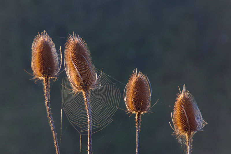 Teasel Teasels Teasel Thistle Teasel Heads Karden Thistle Thistleheads Nature Plant Close-up Growth Beauty In Nature No People Focus On Foreground Fragility Flower Day Plant Stem Vulnerability  Flowering Plant Tranquility Brown Outdoors Freshness Sunlight Dry Softness Spiky Spidernet