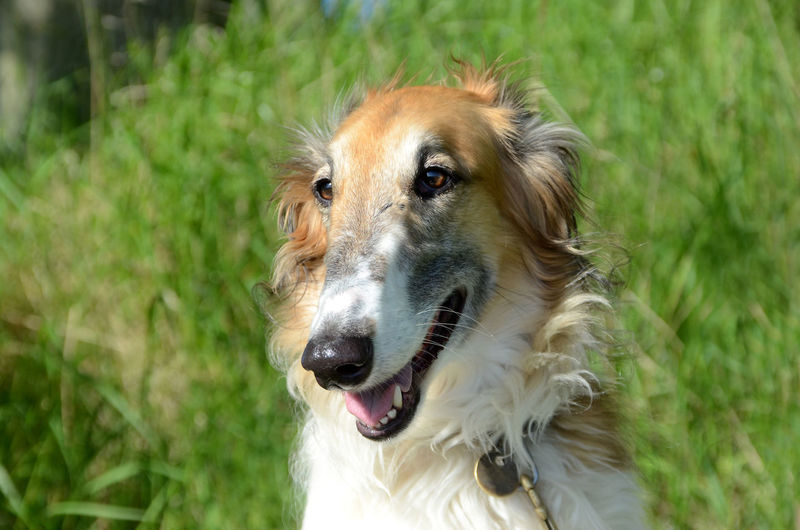 Face portrait of a borzoi dog Animal Themes Borzoi Close-up Day Dog Domestic Animals Exoression Face Grass Headshot Long Nose Lovely Mammal Nature No People One Animal Outdoors Pets Portrait Sighthound