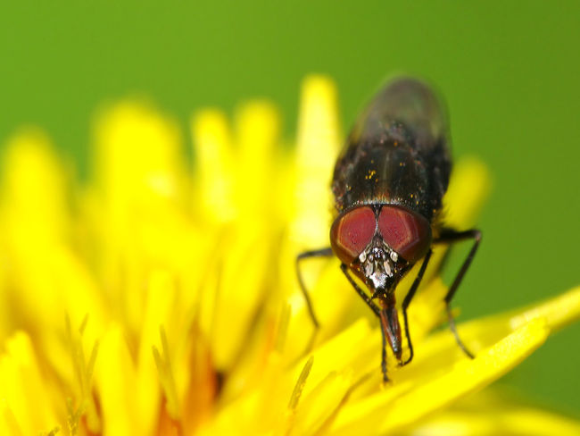 Stomorhina Lunata (male) - Serchio River Animal Behavior Arthropoda Beauty In Nature Calliphoridae Close-up Diptera Flower Flower Head Fragility Freshness Hexapoda Insect Insect Looking At Camera Insect Looking At You Insecta Nature Pollination Rhiniinae Stomorhina Stomorhina Lunata Yellow
