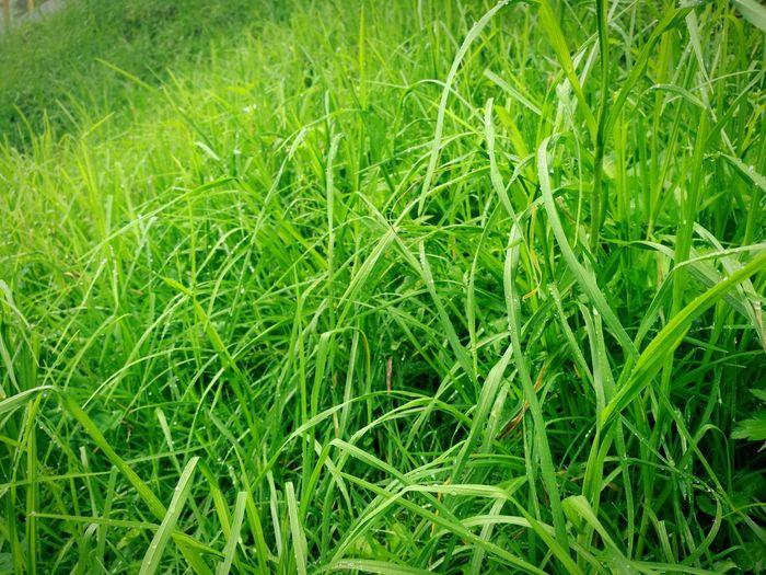 long wet grass