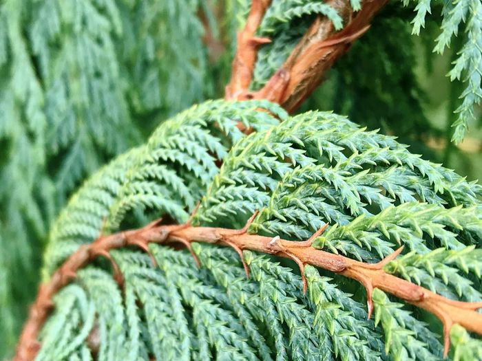 Green Color Close-up No People Nature Growth Day Outdoors Beauty In Nature Thick Cupressus Cashmeriana