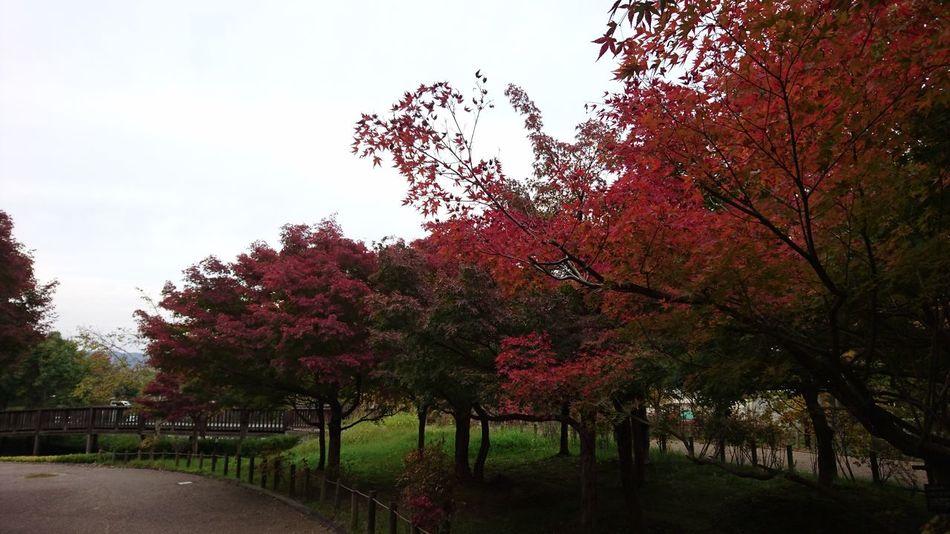 紅葉🍁 Tree Growth Nature Outdoors Beauty In Nature Sky Tranquility No People Day