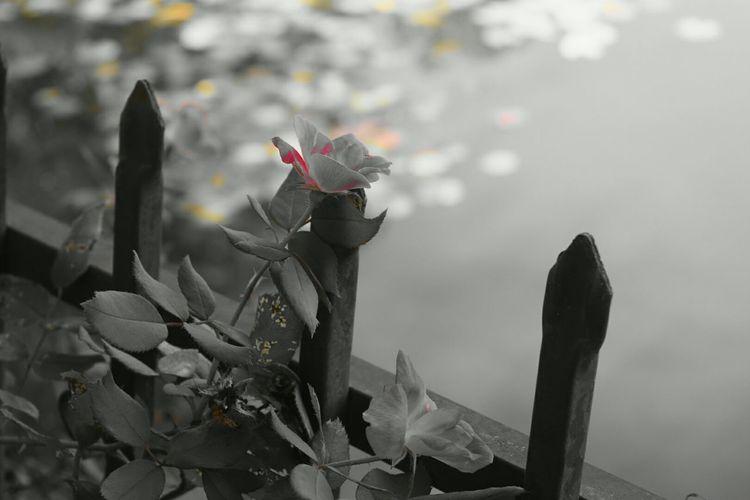Roses Pink Rose Blackandwhitephotography Blackandwhite Nature Ncnature Nature Photography North Carolina Lake View