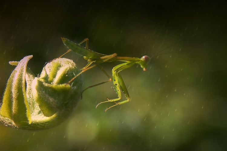 Stage Macroworldmania Hipaae Galeri_makro Gm_member Indonesia_greatshots Mta_macro Idmacro Galerikamerahp Show_nature_macro_ Kings_insects#macro_of_our_world#macroworld_tr#turkobjektif_animal#kf_macro#macroandflora#macro_freaks#macro_brilliance#wms_macro#insectguru#macro_parahyangan#www_macro#electric_macro#splendid_nature#macro_everywhere#9vaga_macro9#total_macro#macro_europe# Macro Photography Macro Beauty Macro Nature Macro_collection Nature_collection EyeEm Best Shots EyeEm Nature Lover Macro_perfection Macro World Nature Magnification No People Macro Beauty In Nature One Animal Fragility Plant Outdoors Green Color Vulnerability  Arthropod Selective Focus