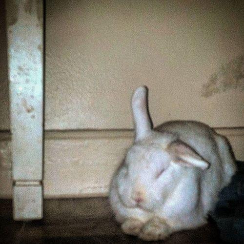 Bunny  Sleepy Adorable Cute Fluffy Hiding Rabbit Housebunny Indoorrabbit