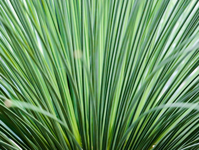 Toothless Sotol, Beargrass, dasylirion quadrangulatum, closeup abstract. Beargrass Toothless Sotol Abstract Backgrounds Close-up Closeup Dasylirion Quadrangulatum Day Freshness Frond Green Color Growth Leaf Nature No People Outdoors Palm Leaf Palm Tree Tree