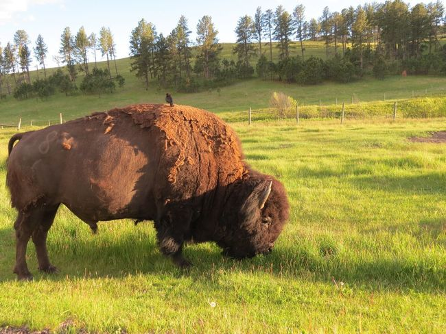 Bird Tree American Bison Rural Scene Agriculture Grazing Field Meadow Grass Area Grass Sky
