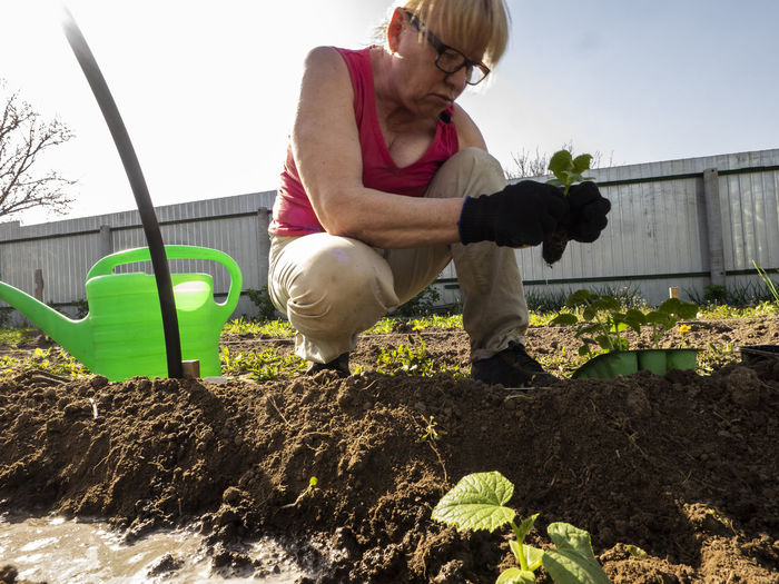 Senior caucasian woman is planting cucumber seedlings in a mini greenhouse. Senior Women Caucasian Planting Cucumber Seedlings Greenhouse One Person Plant Nature Real People Lifestyles Leisure Activity Casual Clothing Day Full Length Outdoors Gardening Women Front View Growth Senior Adult Adult Females