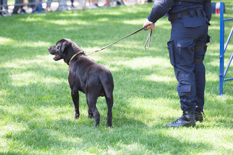 Policeman with police dog on duty. Detection Drug Enforcement K-9 Labrador On Duty On Alert Police Dog Security Black Labrador Black Dog Canine Detection Dog Dog K9 K9 Dogs Labrador Retriever Law Enforcement Leash Narcotics On The Leash Patrolling Public Order Safety Tracking Vigilance