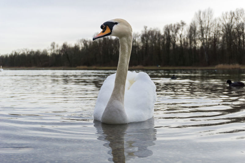 Floating swan Animals Beauty In Nature Birds Close-up Elégance Feathers Floating Graceful Lake Nature No People Outdoor Passing Plumage Swan Swans Water Water Bird White Wildlife Wings