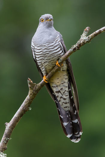 Cuckoo sit and wait Coucou Gris Cuco Europeo Cuculus Canorus Animal Themes Animal Wildlife Animals In The Wild Bird Cuckoo Day Kuckuck Nature No People Outdoors