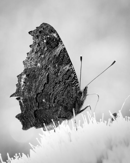 Beauty In Nature Black And White Photography Blackandwhite Butterfly Close-up Entomology Insect Insect Photography Insects  Lepidoptera Nature Nature On Your Doorstep Nature's Diversities