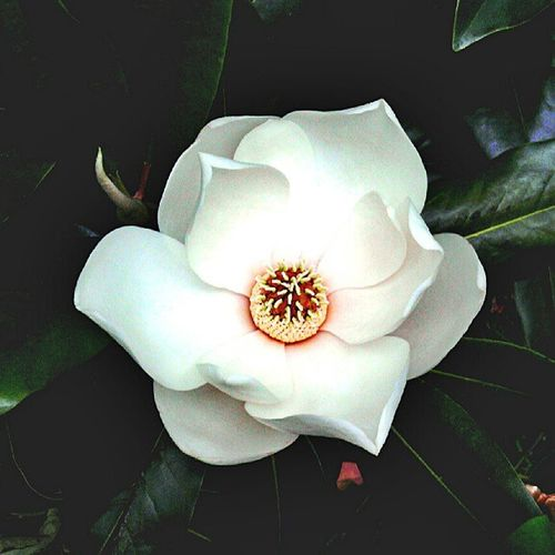 Nature is such a Beauty... Nature Naturallighting MagnoliaTree White Green Flower Leaves Outdoors Love Enjoy Environment Tree Texas Beauty