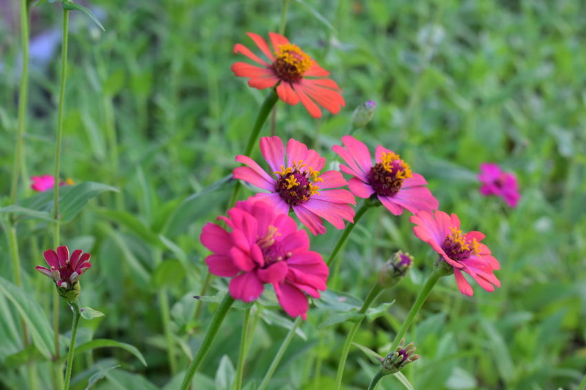 tropical colorful flowers Beauty In Nature Blooming Close-up Day Flower Flower Head Fragility Freshness Growth Nature No People Outdoors Petal Plant Zinnia Flowers In Bright Sunshine