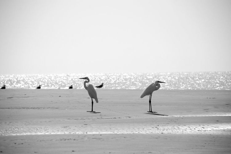 Stork and seagulls at beach against clear sky