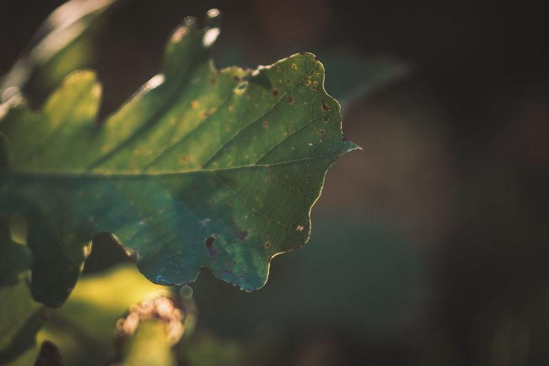 Bur Oak Leaf in
