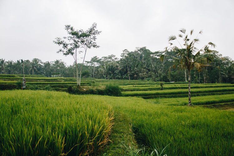 Agriculture Beauty In Nature Cereal Plant Crop  Day Field Grass Green Color Growth Landscape Nature No People Outdoors Palm Tree Rice - Cereal Plant Rice Paddy Rural Scene Scenics Sky Terraced Field Tranquil Scene Tranquility Tree