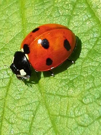 Ladybugs Photography Ladybug Collection Ladybug😊😊🐞🐞🐞 Natural Beauty божья коровка Natur Nature_collection Nature Photography